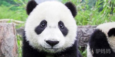 成都大熊猫基地门票-驴妈妈门票预订