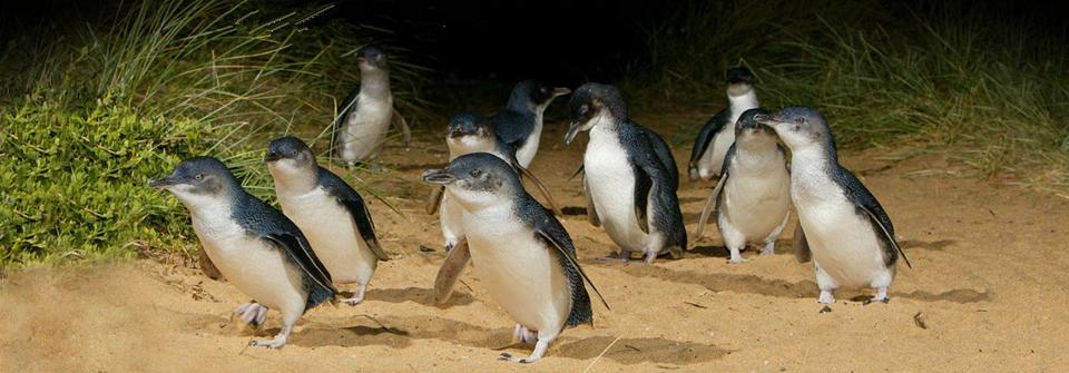 维多利亚州南部西港海湾口的一座岛屿,位于墨尔本东南约130公里处,车程约需2个小时。菲利普岛东西长约23公里,南北最宽处10公里,面积100平方公里。主要景点包括:企鹅自然生态保护区,考拉保育中心,丘吉尔传统农庄,海豹岩。菲利普岛以神仙小企鹅闻名于世,在岛西南面的萨摩兰海滩,栖息着许多世界上最小,身高大约30厘米的神仙小企鹅。企鹅岛自然生态保护区是目前世界上最大的野生企鹅保护基地。菲利普岛自然公园不仅仅是一个景点,还是一个提倡致力于保护生态保护的机构,游客带来的利润全部用来保护岛上的小动物。岛上根据生态环