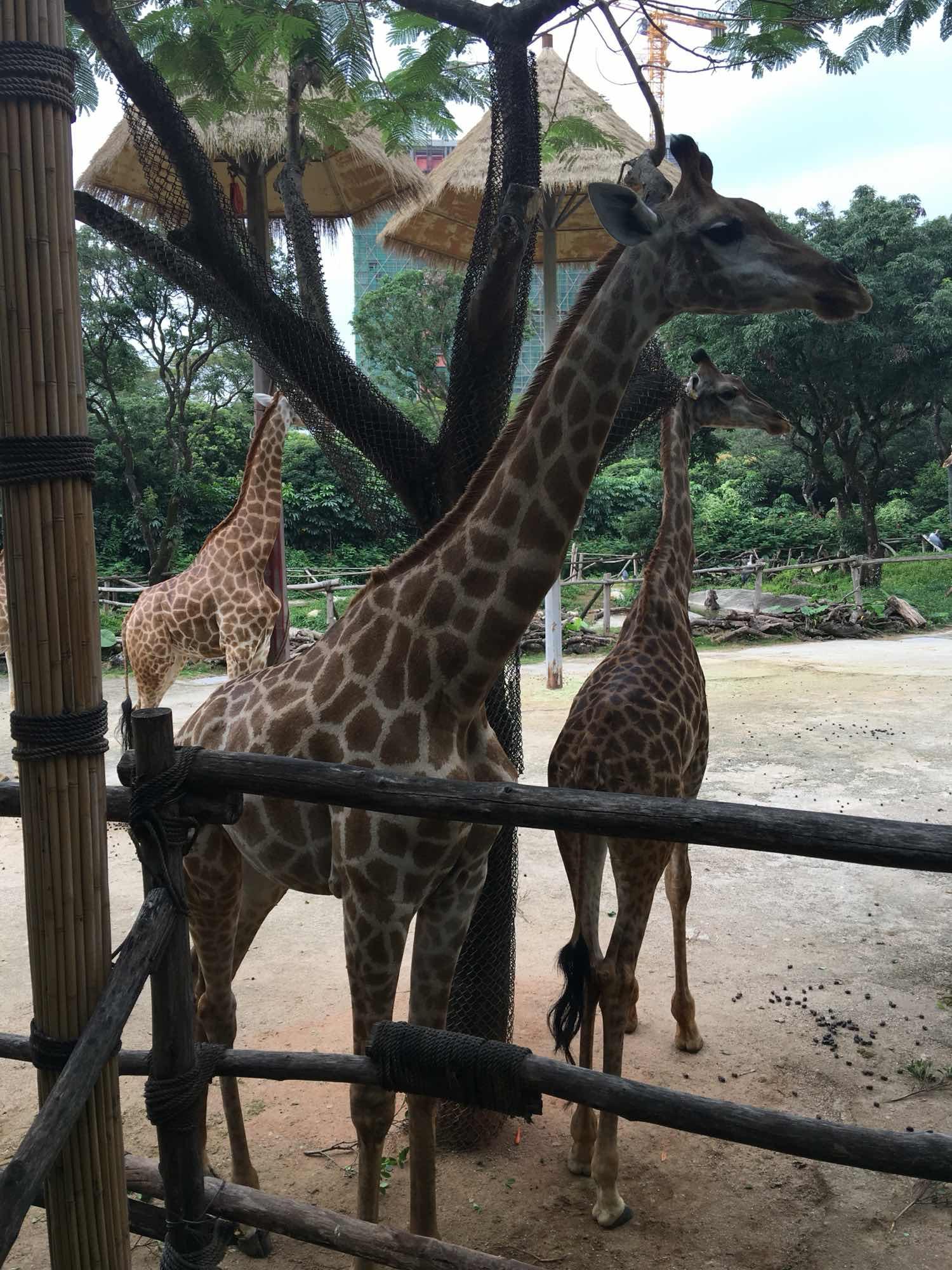 深圳野生动物园   深圳野生动物园成人票