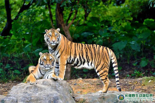 白虎是长隆野生动物世界的镇园之宝,也是长隆集团的吉祥物.