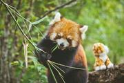 昆明、西双版纳三飞6日跟团游(暑期亲子游,小熊猫度假庄园,丛林酋长迎宾宴,亲密亚洲象,天然氧吧普洱,走近爸爸去哪儿勐景来,嗨翻一夏)